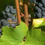 Fontaine aux Muses Vignes Pinot Noir Image