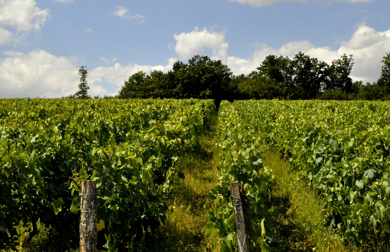 Vignes / Vineyards at La Fontaine aux Muses